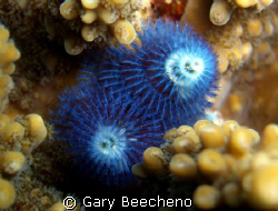 Blue Christmas Tree Worms by Gary Beecheno