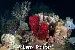 Seascape, night dive, Nikon D-300, twin Ikelite D-125 str... by Larry Polster