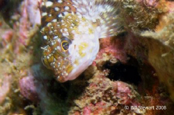 """Juvenile Spiny Rockfish""   Gives me the ""eye"" while tryi... by Bill Stewart"