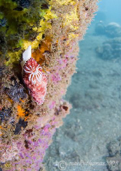 Chromodoris nudibranch on KBR pier, Lembeh.
