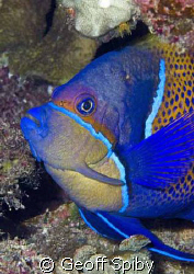 the beautiful blue-girdled angelfish, Raja Ampat by Geoff Spiby