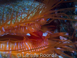 Disco Clam on the Great Barrier Reef.  Nikon D200, 105mm by Larissa Roorda