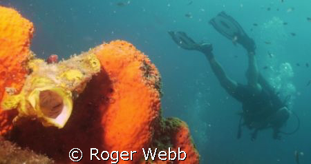 happened to catch this frogfish in a yawn! Must have been... by Roger Webb