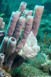 Frogfish pretending to be a sponge. Picture taken at Bula... by Anouk Houben
