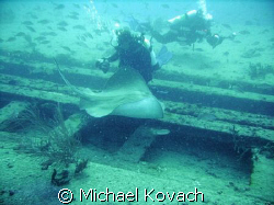 Divers petting the Southern Atlantic Ray on the Sea Emperor by Michael Kovach