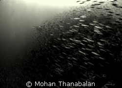 Rush Hour! This school of fusillers are surely in a rush ... by Mohan Thanabalan