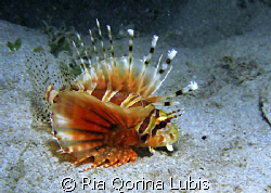 Lionfish by Ria Qorina Lubis