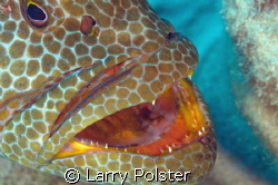 Grouper cleaning station, Nikon D-300, twin Ikelite strobes by Larry Polster