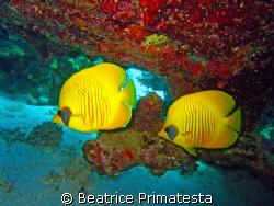 Twins. (Chaetodon semilarvatus) by Beatrice Primatesta