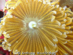 A close up of a feather duster worm taken at Moonie 3 in ... by Anthony Wooldridge