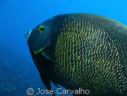French Angelfish (Pomacanthus paru) - Shot at Barreirinha... by José Carvalho