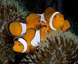 False Clown Anemonefish (Amphiprion ocellaris) in Anilao. by Jim Chambers