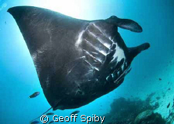 the first all black manta that I have seen, Manta Point, ... by Geoff Spiby