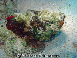 Scorpionfish (Scorpaenopsis diabolus) by Beatrice Primatesta