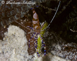 A tiny little cleaner shrimp. Taken with a Canon EOS 20 D... by Barbara Schilling