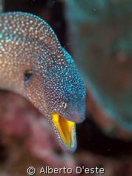Muraena mouth yellow by Alberto D'este