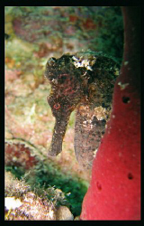 Spent about 20 minutes waiting for this Seahorse to show ... by Juan Torres