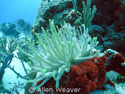 Anemone by Allen Weaver
