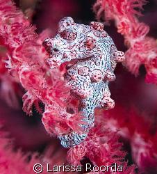 Hippocampus bargibanti.  Pygmy Seahorse by Larissa Roorda