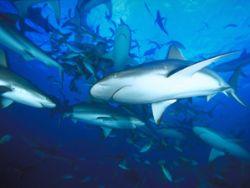 Reef Sharks, Bahamas (Nikon F4, 18mm, Provia F100) by Andrew Dawson