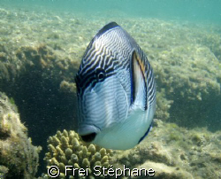 """"""" WHO ARE YOU GUY? """" Chirurgien zébré (Acanthurus sohal)... by Frei Stéphane"""
