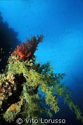 Corals - Lythophyton arboreum by Vito Lorusso