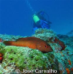 "Grouper ""relaxing"" as Diver goes away, Barreirinha, Natal... by José Carvalho"