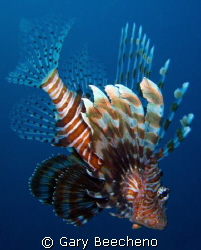 Lion fish by Gary Beecheno