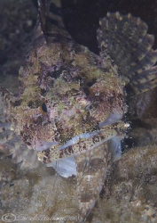 Long spined scorpion fish. It just won't go down! Trefor ... by Derek Haslam