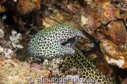 Black-spotted moray. Lima rock, Musandam, Gulf of oman, N... by Alexander Nikolaev