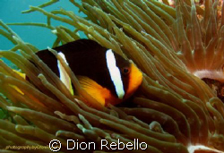 one of my favorite subjects, clownfish! took me at least ... by Dion Rebello