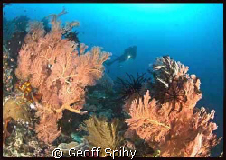 the beautiful gorgonian fans of Raja Ampat by Geoff Spiby