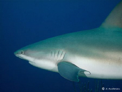 A Caribbean Flyby. This photo of a Caribbean Reef Shark w... by Steven Anderson