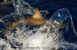 Grey Reef Shark in the surface by Armando Gasse