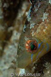 Fishs - Labrus bimaculatus by Vito Lorusso