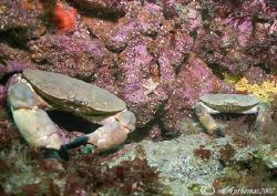 Dad & Lad. Edible crabs. Isle of Canna, Scotland. 20mm. by Mark Thomas