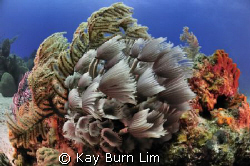 Social Feather Dusters, Nikon D300 (Sea & Sea housing) 10... by Kay Burn Lim