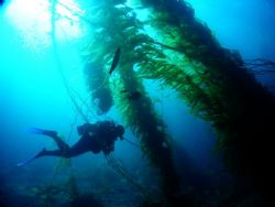 Kelp forest of Catalina Island by Steve Kuo