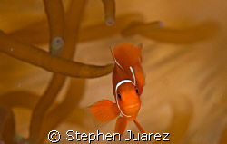 Found Nemo, PNG has lots of annenomies and cute clown fish by Stephen Juarez
