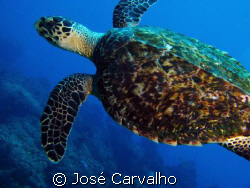 Turtle in the famous site Batente das Agulhas, a few mile... by José Carvalho