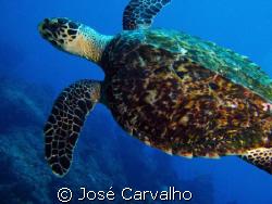 Turtle in the famous site Batente das Agulhas, a few mile... by José Carvalho