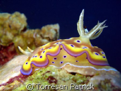nudibranch by Torresan Patrick