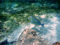 surgeonfish in Madives by Svetoslav Dimitrov