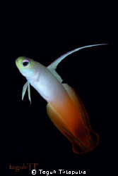 Fire dartfish, Canon EOS400d, Sea and Sea housing and str... by Teguh Tirtaputra