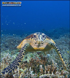 Hawksbill Turtle, Lost Reefs, East Coast Sabah, Borneo. N... by Richard Swann