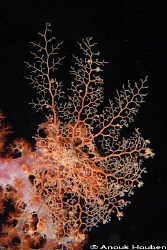 Basket star, Astroboa sp. Picture taken during a night di... by Anouk Houben