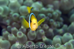 Clown Fish - Nikon D70S, 50mm, Ikelite DS125 in manual, 80ms by Alberto D'este