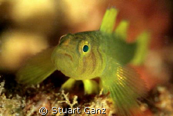 Golden Green Goby, endemic to Hawaii.  by Stuart Ganz