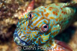 Stocky Hawkfish - if Picaso only knew. Always fun to phot... by Glenn Poulain