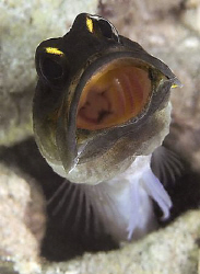 Unfortunately no eggs - but cool to watch this jawfish cl... by John M Akar